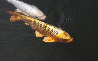 Gesunde Teichfische